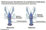 Geschlechtsunterschied australische Flusskrebse.