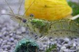 Je nach Garnelenart haben die Eiflecken eine unter-schiedliche Färbung. Bei der Indischen Galsgarnele ist der Eifleck olivgrün.