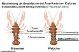 Geschlechtsunterschied europäische, amerikanische Flusskrebsarten.
