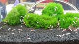 Für Garnelen gibt es einen speziellen Bodengrund, den sogenannten Soil.
