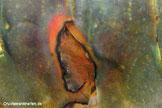 Abheilende Wunde (Wundverschluss) nach einer bakteriellen Infektion bei einem Flusskrebs. Eine unterstützende Behandlung mit Seemandelbaumblät- tern, deren Extrakt oder Erlenzapfen  ist sinnvoll.