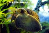 Ursache für zerstörte Tentakeln sind oft Fische oder aber auch Bakterielle Infektionen. Foto: Wilstermann-Hildebrand
