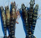 Schwarze Tiger-Garnele. Links mit YHD infizierte Tiere, rechts gesunde Tiere.