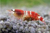 Beim spezialisiertem Fortpflanzungstyp tragen die Weibchen je nach Art zwischen 10 und 50 Eier.