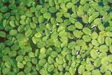 Der Schwimmfarn Salvinia auricularia ist eine stark zehrende Aquarienpflanze.