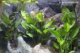 Aquarienpflanzen tragen durch ihr Wachstum und den damit verbundenen Nährstoffverbrauch zur Reinigung des Aquarienwassers bei.