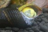 Fehlt einer Schnecke wie hier einer Tylomelania das Operculum (siehe Pfeil), kann sie sich bei Gefahr durch Fische oder Garnelen nicht mehr schützen und ist diesen ausgeliefert.