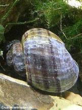 Beschädigtes Gehäuse durch zu weiches Wasser und dadurch verbundenem Calciummangel. Foto: Marina K.
