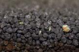 Ostrakoden (Ostracoda) oder Muschelkrebse sind kleine, meist zwischen 0,5 und 2 mm große Krebstiere. Die größten Arten erreichen bis zu 3 cm Körperlänge. Foto: Marc Kuhlmeier