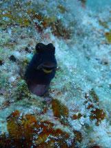 石垣島でのんびりダイビング「カエルウオ」