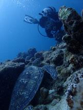 石垣島でのんびりダイビング「アオウミガメと遭遇」