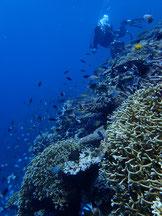 石垣島でのんびりダイビング「お魚畑」