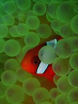 石垣島でのんびりダイビング「ハマクマノミ」
