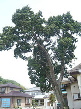 この樹が津波に耐えたつわものイブキですね