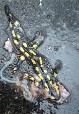 Erstes Opfer:  bereits Anfang Januar wurde ein Salamander überfahren (Bild: K. Weddeling)