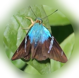 Flasher butterfly