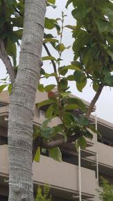 カリンの実 葉の間に先端が赤くなっている実があります 5.26撮影