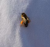 Biene mit Pollen höschen