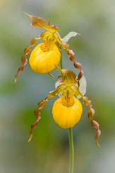 Large yellow Lady´s slipper (Cypripedium pubescens)