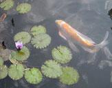 蓮の花とヒレナガ錦鯉