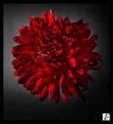 nature lavande vert nuit contre jour coquelicot botanique fleur jardin sauvage tulipe coquelicot