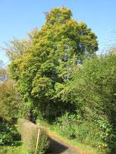 Feld-Ahorn (Acer campestre) - Königsquelle Bad Wildungen 24.10.14 - Foto: B. HANNOVER