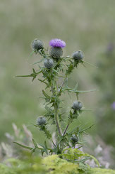 Scotland's national emblem - Chardon (Cirse) commun - Cirsium vulgare - Common thistle