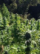 Hanfpflanzen auf Plantage in Blüte