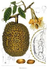 le durian, description et coupe du fruit