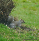 Grey Squirrel am Stellplatz