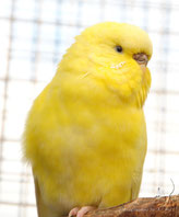 doppelfaktoriger Spangle, gelb, AGG (Lilly)