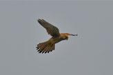 Falcon | Austria