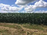 Entre champs de maïs