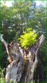 Forst Walkmöhl-Bäumchen im Baum