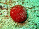 Eponge, ronde, rouge, hérissée de proéminence épineuse courte