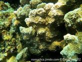 corail dur, feuilles, surface ondulée