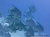 Poisson, très comprimé, haut, argenté, bandes noires verticale, nageoire dorsale et anale, bordures noires, pointes très allongés,