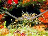 Langouste, paire d'antennes, couleur mauve