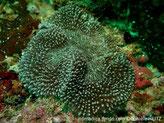 corail dur, méandre, manteau, papilles ressemblant à des tentacules