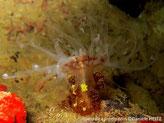 anémone, tubulaire, verruqueuse, tentacules fins, transparents