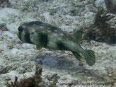 Poisson, corps allongé, arrière effilé, grosse tête, couleur  gris-beige,  taches diffuses plus sombres, parsemé taches rondes noires, nageoires petites taches noires