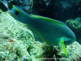 Poisson, vert bleu, joue, tache violette, bande évasée bleu-vert, queue, bande jaune, tache noire
