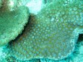 corail dur, plaque, corallites espacées, polypes, 2 rangées