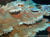 corail dur, plaque, feuille, couvert de polypes, forme fleur