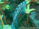poisson, brun grisâtre, taches brune, nageoire dorsale avant pointes jaunes, lèvre supérieure jaune