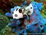 éponge, bleu-vif à bleu-grisâtre, verdâtre, forme coussin lobée, tubulaire, oscule au sommet