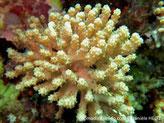 corail mou,  base commune crème, doigts courts gris-verdâtre, polypes 8 tentacules pennés