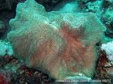 corail mou, disque légèrement lobé, brun-grisâtre, polypes, tubes longs, brun-clair, tentacules blancs