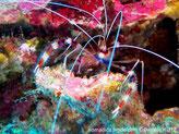 Crevette, long bras rayé blanc rouge,