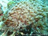 corail mou, forme bouquet de polypes, tentacules pennés, longs et fins
